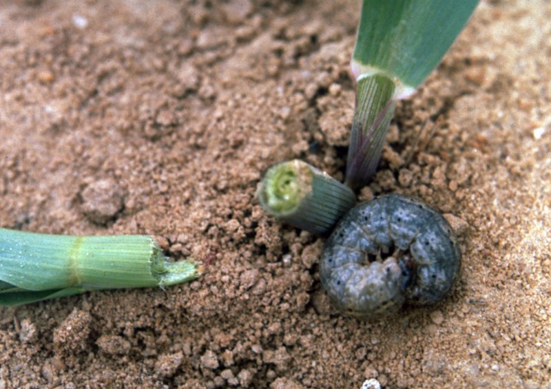 Maize_cutworms
